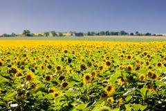 Sunflower field Royalty Free Stock Photos