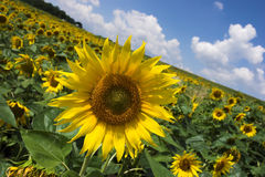 Sunflower field. Sunflowers detail close up, sunny light blue summer sky stock image