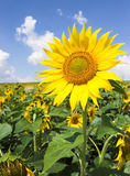 Sunflower field. Sunflowers detail close up, sunny light blue summer sky royalty free stock photo