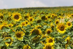 Sunflower field. Sunflowers detail close up, sunny light blue summer sky royalty free stock images