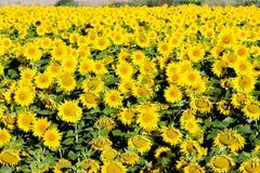 Sunflower field. Zamora Province, Castile and Leon, Spain Stock Photography