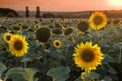 Sunflower field. At the beautiful sunset Stock Images