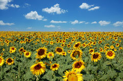 Sunflower field. Over cloudy blue sky Stock Photography