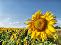 Sunflower field. Scenic view of field of sunflowers, with large one in foreground, blue sky background stock photography