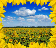 Sunflower field. In special frame Royalty Free Stock Photos