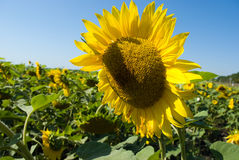 Sunflower field. In summer sunlight Royalty Free Stock Photo