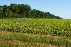 Sunflower field. In summer sunlight Stock Photography