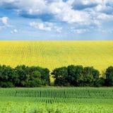 Sunflower Field. Stock Photo