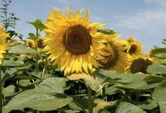 Sunflower field Stock Image