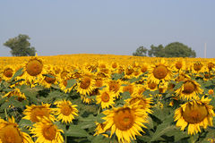 Sunflower Field. Beautiful field of sunflowers on a summer morning Royalty Free Stock Photo