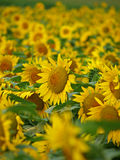 Sunflower Field. With lively flowers looking at the sun Stock Image