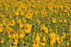 Sunflower Field. Masses of Sunflowers growing on a field stock photo