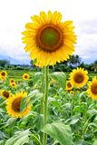Yellow Sunflower Field stock images