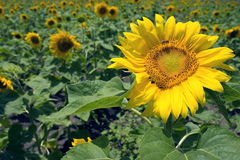 Sunflower field. In Israel. Bee on sunflower Stock Photo