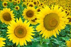 Sunflower on the field Stock Photo