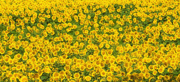 Sunflower field. Lots of sunflowers growing in a field Royalty Free Stock Image