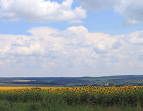 Sunflower field. Bright sunflower field in Ukraine Stock Photo