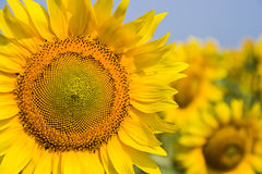 Sunflower in the field. Yellow sunflowers on a background of blue sky in the field Royalty Free Stock Image
