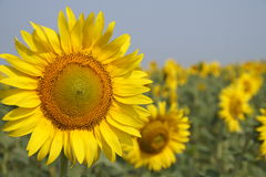 Sunflower in the field. Yellow sunflowers on a background of blue sky in the field Stock Image