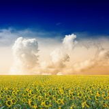 Sunflower field. Beautiful sunflower field and blue sky Royalty Free Stock Images