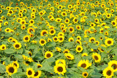 Sunflower field. Composed by yellow flower and green leaves, with repeated round shape Royalty Free Stock Photos