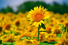 Sunflower in Field. Sunflower in full bloom in field of sunflowers on a sunny day Stock Images