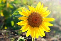 Sunflower in field Stock Image