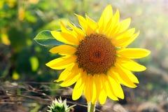 Sunflower in field Stock Image