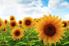 Sunflower on the field Royalty Free Stock Photo
