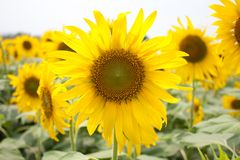 Sunflower field. Sunflower full bloom bright yellow Royalty Free Stock Images