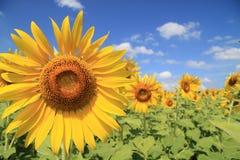 Sunflower field. Over blue sky Stock Image