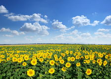 Sunflower field. Stock Images