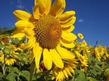 Sunflower Field Stock Image