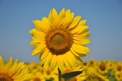 Sunflower field. Flower,plant,oil industry Royalty Free Stock Photo