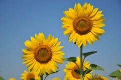 Sunflower field. Flower,plant,oil industry Stock Image