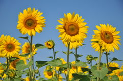 Sunflower field. Flower,plant,oil industry Royalty Free Stock Images