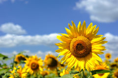 Sunflower in the field Royalty Free Stock Photo