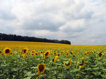 Sunflower field. A field of sunflowers on the hills of Romania Stock Photos