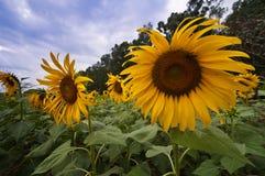 Sunflower in the field. Sunflower in the field at Sa Kaeo, Thailand Royalty Free Stock Photos