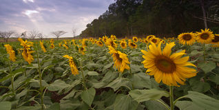 Sunflower in the field. Sunflower in the field at Sa Kaeo, Thailand Royalty Free Stock Image