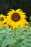 Sunflower in the field. Sunflower in the field at Sa Kaeo, Thailand Stock Image
