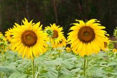 Sunflower in the field. Sunflower in the field at Sa Kaeo, Thailand Royalty Free Stock Photo