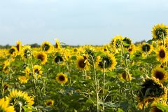 Sunflower field. The sunflower field Stock Images