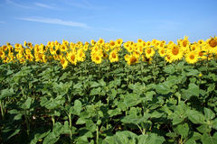 Sunflower field. Field of flowering sunflowers royalty free stock photos