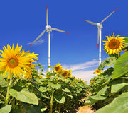 Sunflower field. With wind turbines Stock Image