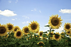 Sunflower field. With a bright blue sky on a sunny summer day Stock Photo