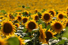 Sunflower field. Sunflowers turning toward the sun Royalty Free Stock Photography