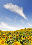 Sunflower field. Summer sky over the sunflower field Royalty Free Stock Photos