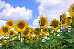 Sunflower field. Royalty Free Stock Photos