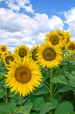 Sunflower field. Landscape view with a sunflower field Royalty Free Stock Images